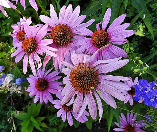Pink coneflowers in the garden flower gardens flowers pixoto pink coneflowers in the garden by mary gallo flowers flower gardens flowers nature mightylinksfo