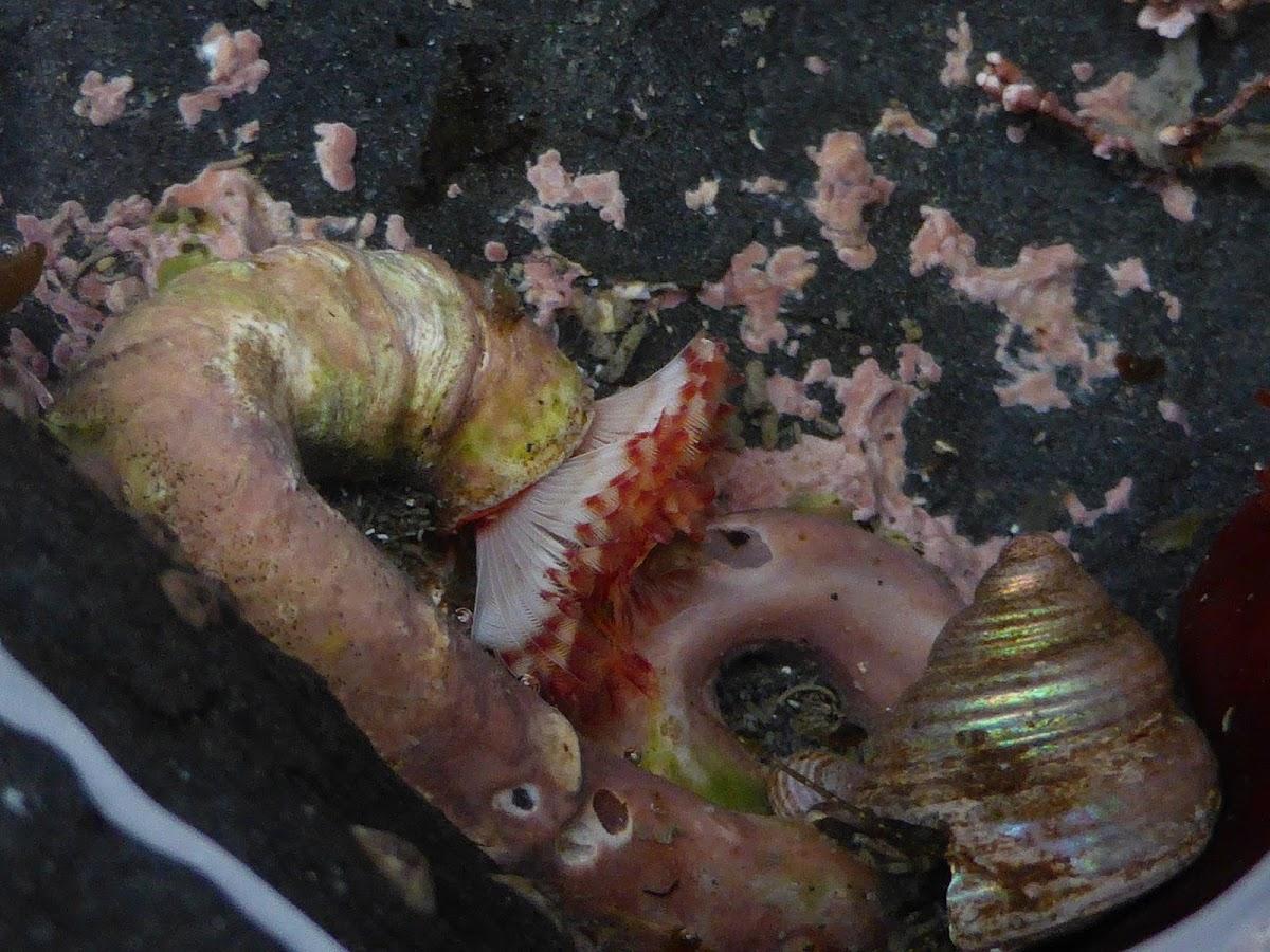 Serpulid Tubeworms