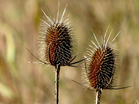 fiori di spine di mariellaturlon