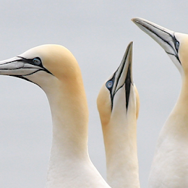 Three's Company by Steve BB - Animals Birds ( orange, beak, gannet, white, feathers, bird, posing, avian )