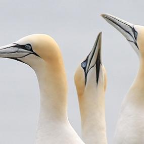 Three's Company by Steve BB - Animals Birds ( orange, beak, gannet, white, feathers, bird, posing, avian )