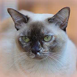 choc tortie burmese cat by Caroline Beaumont - Animals - Cats Portraits ( choc tortie burmese cat )