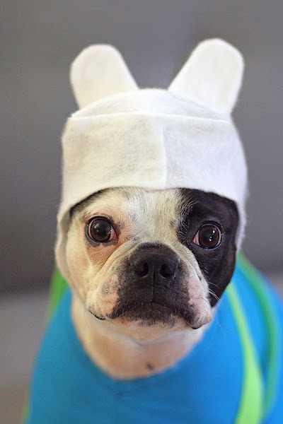 Photo: My Boston Terrier Winston as Finn the Human