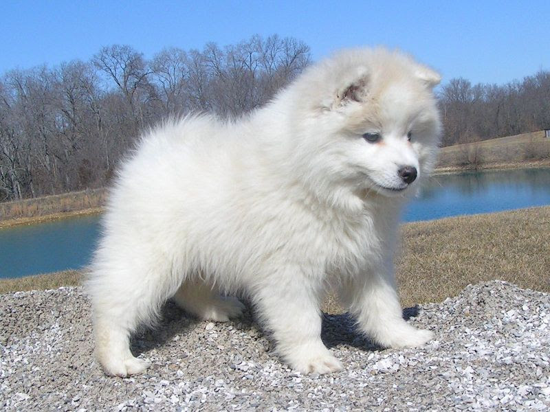 American Eskimo dog price range. American Eskimo puppies for sale cost