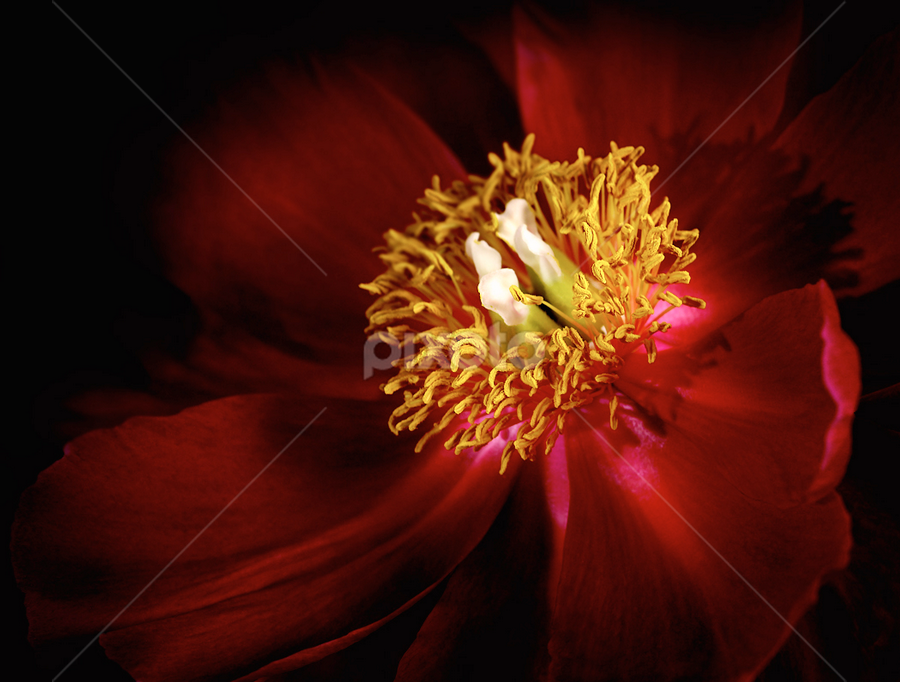 peony by Marianna Armata - Artistic Objects Other Objects ( macro, red, pistil, fine art, stamen, marianna armata, peony, velvet, flower )