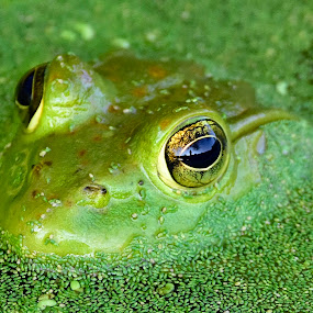 Reflection in a frogs eye by Jeff Sluder - Animals Amphibians ( reflection, green frog,  )