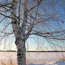 Cold scenery by Mia Ikonen - Nature Up Close Trees & Bushes ( mia ikonen, birch, snow, winter, finland )