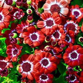 by Simona Susino - Flowers Flower Gardens