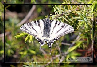 Photo: Segelfjäril - podaliriusfjäril, http://nfmacro.blogspot.se/2010/11/nf-macro-8.html