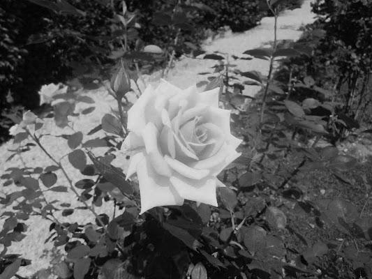 Rosa di emanuela_dolci