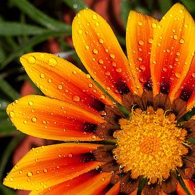 by Bharat Dudeja - Nature Up Close Flowers - 2011-2013 ( gazania, nature, daisy, flower, drops,  )