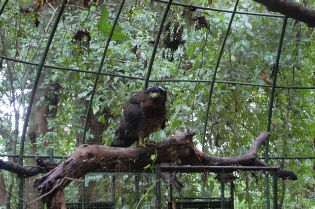 Phil serpent eagle
