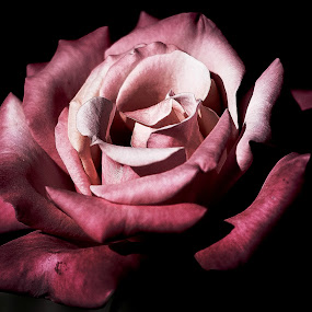 Rose by Linh Tat - Flowers Single Flower ( rose, nature, pink, beauty, flower )