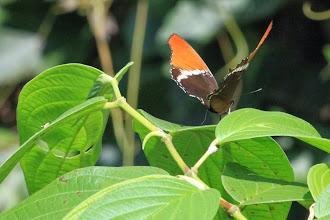 Photo: Siproeta epaphus