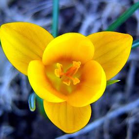 Yellow Crocus by Carol Milne - Nature Up Close Flowers - 2011-2013