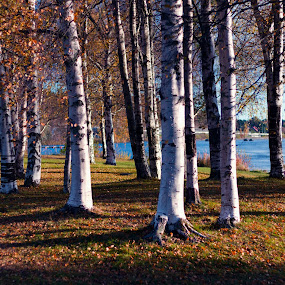 The City of birches by Juliusz Wilczynski - City,  Street & Park  City Parks (  )