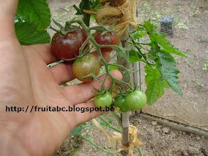 Photo: Black Cherry, een zwartbruine kerstomaat. Smaakvol, zoet en sappig! Erg groeikrachtige plant.