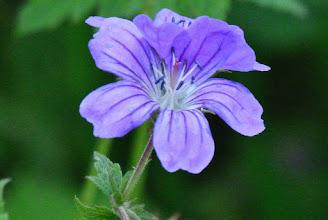 Photo: Wiesenstorchschnabel (Geranium pratense)