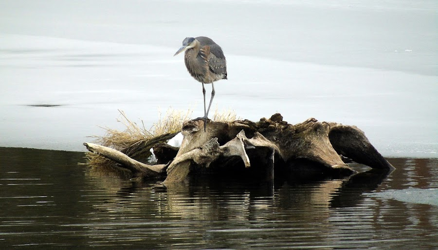 FISHING by Cynthia Dodd - Novices Only Wildlife ( water, winter, nature, ice, snow, wildlife, log, pond, heron )