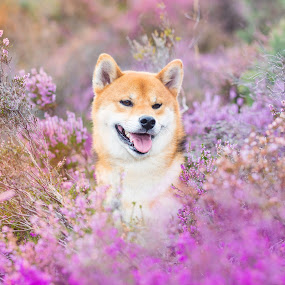 Osuhou and Heather by Magdalena Sikora - Animals - Dogs Portraits ( shiba inu, dog in flowers, heather, dog in heather )