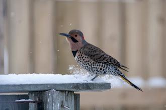Photo: Northern Flicker kicking the snow