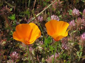 Photo: California Poppies!