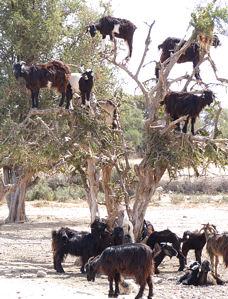 goatsweb.jpg