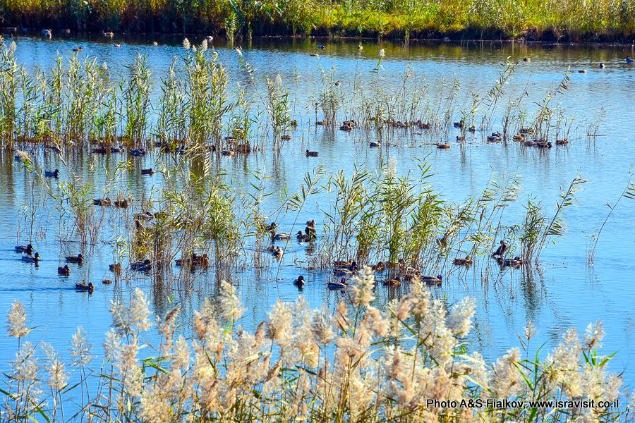 Утки на озере Хула. Птицы в Израиле.