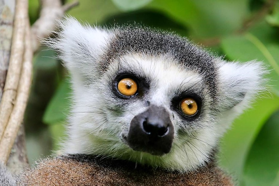 Ring-tailed lemur. Lemur de cola anillada