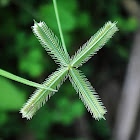 Indian goosegrass