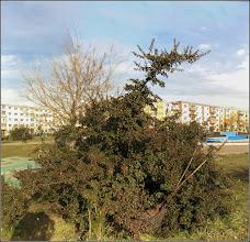 Photo: Pyracantha, Cătină ornamentală (Pyracantha coccinea)  - din Turda, Parcul Teilor - 2019.03.07