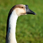 Domestic Chinese Goose