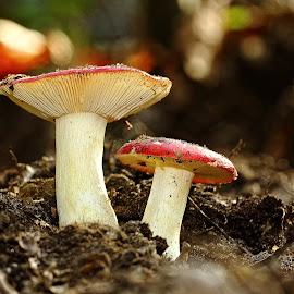 Duo de Russule by Gérard CHATENET - Nature Up Close Mushrooms & Fungi