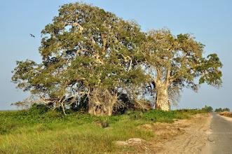 Photo: baobabs