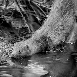 American Mink by Debbie Quick - Black & White Animals ( debbie quick, nature, mink, debs creative images, new york, water, outdoors, creek, animal, millbrook, cary institute of ecological studies, black and white, american mink, wild, hudson valley, wildlife )