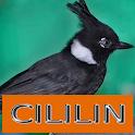 Master Kicau Cililin icon