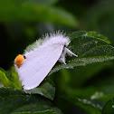 Goldtail Moth