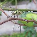 Slender Skimmer Dragonfly