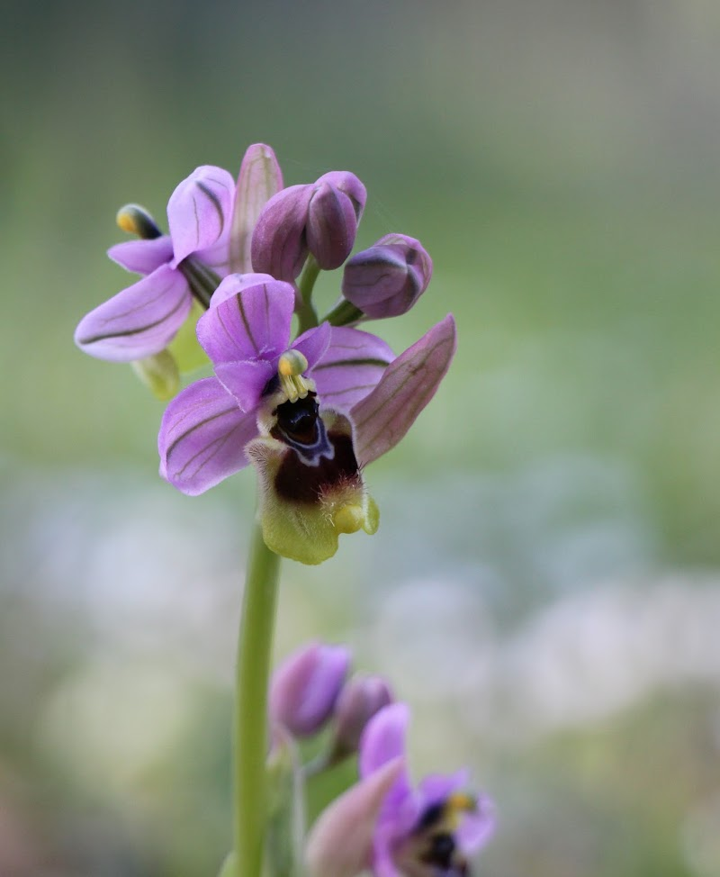 Orchis di Tefnut_Simo