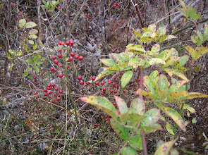 Photo: Multiflora Rosehips, 11.8
