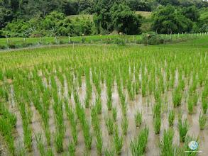 Photo: Experimental field of FPAR (Ban Khok, Uttaradit)