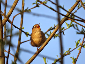 Photo: Priorslee Lake Closely followed by a Wren singing this way ... (Ed Wilson)