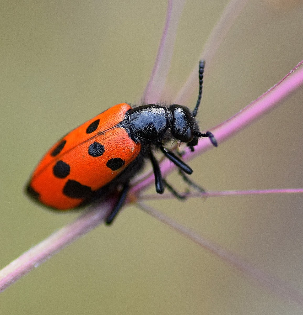Four-spotted Blister Beetle