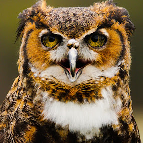 Sight Restored by Beth Phifer - Animals Birds ( bird, beak, owl, raptor, great horned, feathers, birds, owls )