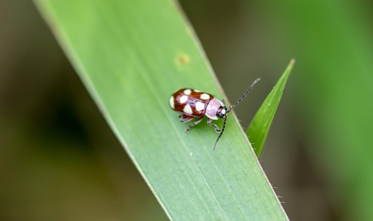 Käfer or Flea beetle