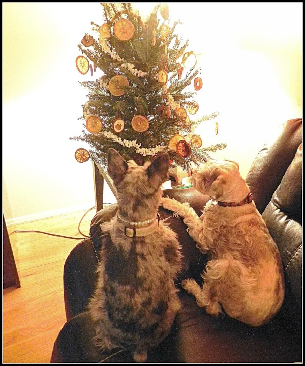 Miss Tibby & Paczki our Schnoodles admiring the tree. After the New Year I put...