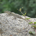 South Indian Rock Agama