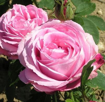 Mrs John Laing | Trevor White Roses