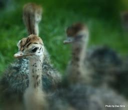 Photo: (Year 3) Day 23 - Baby Ostrich #7