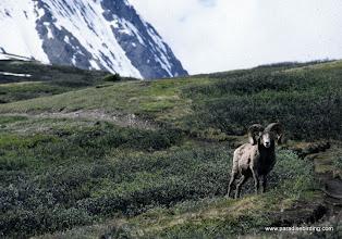 Photo: Rocky Mountain Bighorn, Wilcox Pass, Jasper National Park